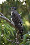 Pacific Baza kobble08ed