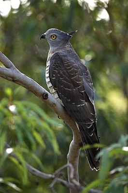Pacific Baza kobble08ed.JPG