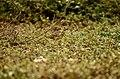 Paddyfield Pipit Vellode Bird Sanctuary JEG6643.jpg