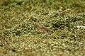 Paddyfield Pipit Vellode Bird Sanctuary JEG6652.jpg