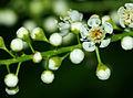 Padus avium, Prunus padus - flowers 02.jpg