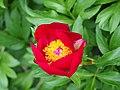 Paeonia peregrina Piwonia obca 2015-05-17 07.jpg