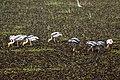 Painted Storks (24394857765).jpg