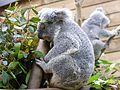 Pairi Daiza 2016, koala.jpg