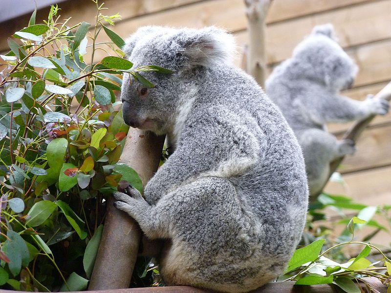 File:Pairi Daiza 2016, koala.jpg