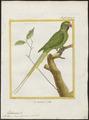 Palaeornis torquatus - 1700-1880 - Print - Iconographia Zoologica - Special Collections University of Amsterdam - UBA01 IZ18500049.tif