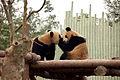 Pandas Shanghai ZOO.jpg