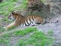 File:Panthera tigris3.ogv