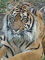 Panthera tigris sumatrae in captivity 07.JPG