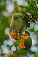 A green parrot with a yellow head, white eye-spots, and blue horizontal stripes across its body except for the head