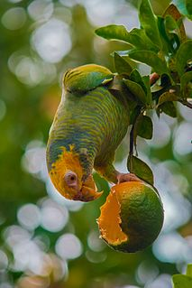 Yellow-faced parrot species of bird