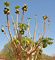 Papaya trees in South Africa.jpg