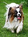 Papillon running (cropped).JPG