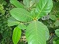 Papra tree Bhopal.JPG