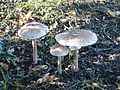 Parasol Mushrooms - geograph.org.uk - 71670.jpg