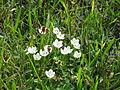 Parnassia - Parnassia palustris.JPG