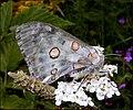 Parnassius apollo femelle.jpg