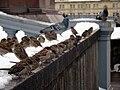 Passer domesticus -Moscow -flock-8b.jpg