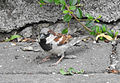 Passer domesticus House Sparrow 04.JPG