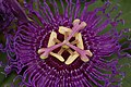 Passion Flower Passiflora Flower 3008px.jpg
