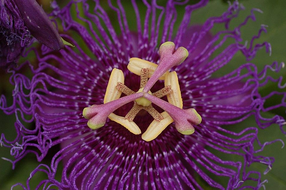 Passion Flower Passiflora Flower 3008px