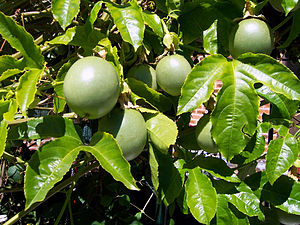 Passion fruit still on the vine