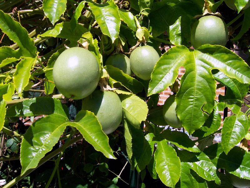 File:Passionfruitvine.jpg