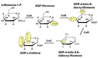 Colitose - The GDP-L-colitose biosynthesis pathway. For clarity, groups modified by the previous enzymatic step are highlighted in yellow.