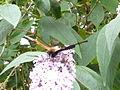 Peacock-butterfly 30700 20130810065508.jpg