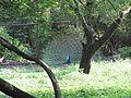 Peacock.01.jpg