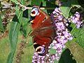 Peacock (Inachis io) (8094934664).jpg
