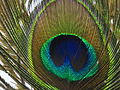 Peacock Feather01.JPG