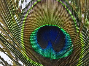 English: Peacock feather