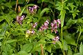 Pedicularis chamissonis var. japonica 22.jpg