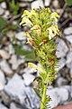 Pedicularis julica 05.jpg