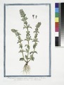 Pedicularis purpurea, annua, minima, verna - Eufrasia de'prati - Pediculaire. (Lousewort) (NYPL b14444147-1125139).tiff