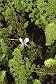 Pelargonium sp. (Geraniaceae) (4582073832).jpg