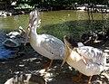 Pelicans at zoo1.jpg
