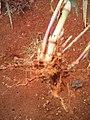 Pennisetum purpureum racine.jpg
