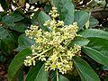 Persea americana flowers D3150074.JPG