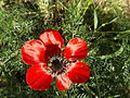 Persian Buttercup 07.jpg