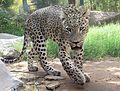 Persian leopard.JPG