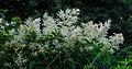 Persicaria polymorpha. Locatie, Tuinreservaat Jonker vallei.jpg