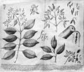 Peruvian bark tree. Wellcome M0001395.jpg