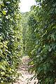 Pfefferanbau auf Phu Quoc.jpg
