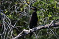 Phalacrocorax brasilianus Crooked Tree 01.JPG