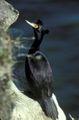 Phalacrocorax urile1.jpg
