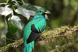 Pharomachrus mocinno Monteverde 10.jpg