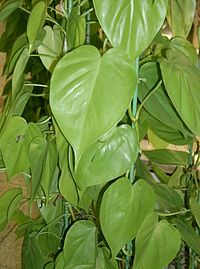 Philodendron scandens ssp.oxycardium Lime2
