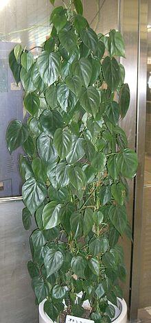 Philodendron Hederaceum Wikipedia La Enciclopedia Libre